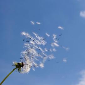 dandelion blow.jpg